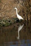 Piccolo Egret Immagini Stock Libere da Diritti