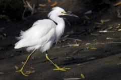 Piccolo egret bianco Fotografia Stock