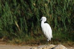 Piccolo egret che si leva in piedi su una roccia Fotografie Stock Libere da Diritti