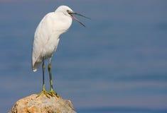 Piccolo egret che si leva in piedi sulla roccia Immagini Stock Libere da Diritti