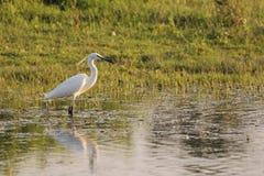 Piccolo egret (Egretta Garzetta) in acque basse Immagine Stock