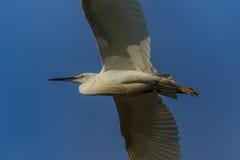 Piccolo Egret (garzetta del Egretta) Fotografia Stock Libera da Diritti