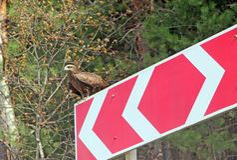 Piccolo falco che si siede sul segnale stradale fotografia stock libera da diritti
