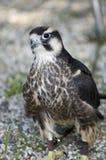 Piccolo falco in Polonia Immagini Stock Libere da Diritti
