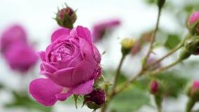Piccolo fine rosa della rosa su stock footage