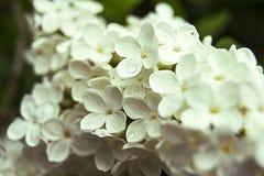 Piccolo fiore bianco fotografia stock libera da diritti