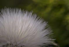 Piccolo fiore bianco del cotone del eriophorum Immagini Stock Libere da Diritti