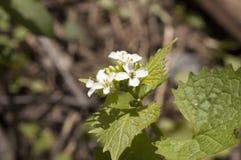 Piccolo fiore bianco nel centro Fotografia Stock
