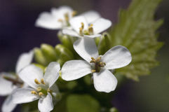 Piccolo fiore bianco nel centro Immagine Stock