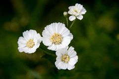 Piccolo fiore bianco su un fondo verde scuro Foto verticali Immagine Stock