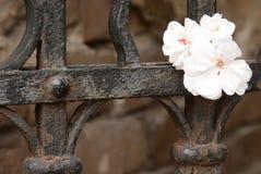 Piccolo fiore bianco sul recinto locale della città Fotografie Stock Libere da Diritti