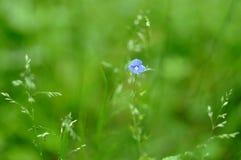 Piccolo fiore blu Immagini Stock Libere da Diritti