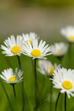Piccolo fiore della margherita Immagini Stock