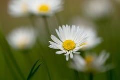 Piccolo fiore della margherita Immagine Stock