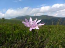 Piccolo fiore della montagna Fotografie Stock Libere da Diritti