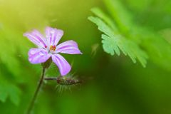 Piccolo fiore di rosa selvaggio Immagine Stock