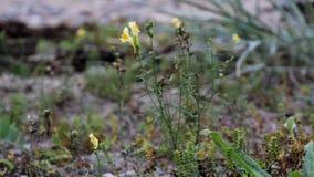 Piccolo fiore giallo che ondeggia dal vento archivi video