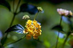 Piccolo fiore giallo con i germogli Fotografia Stock