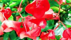 Piccolo fiore rosso Immagini Stock