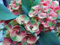 piccolo fiore Rosso verde Fotografia Stock