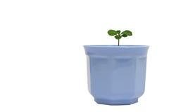 Piccolo fiore verde in POT blu isolato Fotografie Stock Libere da Diritti