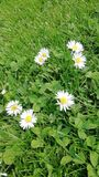 Piccolo fiori bianchi della molla in Germania immagini stock