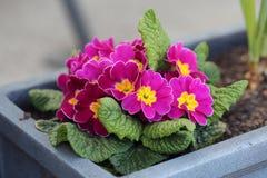 Piccolo fiori rosa con i centri gialli fotografia stock