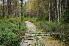Piccolo fiume della foresta invaso con fango La Bielorussia, foresta di Naliboki Immagini Stock