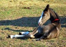 Piccolo foal Immagini Stock