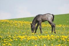 Piccolo foal nel campo Immagini Stock
