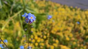Piccolo fondo blu del fiore Fotografia Stock