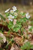 Piccolo Forest Flowers bianco Bello fiore e macro sparati con le gocce di acqua Thalictroides del Isopyrum Fotografia Stock