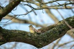 Piccolo fringillide che si siede sul ramo di un albero immagine stock libera da diritti
