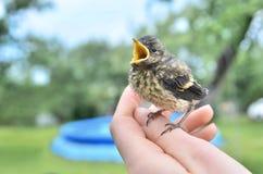 Piccolo fringuello dell'uccello di bambino Fotografie Stock Libere da Diritti