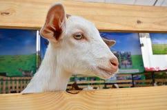 Piccolo fronte affascinante delle pecore bianche Immagine Stock