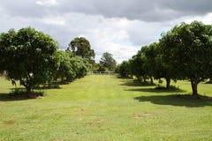 Piccolo frutteto del mango Fotografia Stock Libera da Diritti
