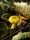 Piccolo fungo immagini stock