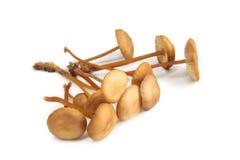 Piccolo fungo (alliaceus del Marasmius) Fotografie Stock