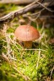Piccolo fungo che cresce nel muschio Fotografie Stock Libere da Diritti