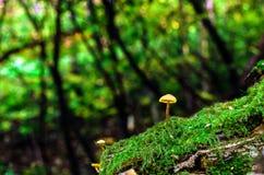 Piccolo fungo che cresce nel muschio verde alla foresta di estate immagini stock