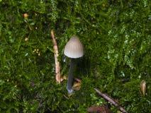Piccolo fungo di mycena sull'albero in muschio, macro, fuoco selettivo, DOF basso Immagini Stock