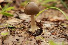 Piccolo fungo nel primo piano della foresta Fotografia Stock