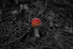 Piccolo fungo nella foresta della conifera fotografia stock