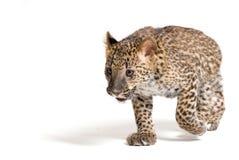 Piccolo funzionamento del leopardo immagine stock libera da diritti