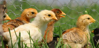 Piccolo funzionare dei polli Fotografie Stock Libere da Diritti