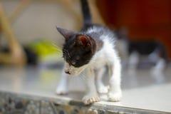 Piccolo gattino in bianco e nero che cerca come una tigre fotografia stock
