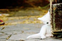 Piccolo gattino bianco misterioso immagine stock libera da diritti