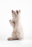 Piccolo gattino britannico lilla Fotografia Stock Libera da Diritti