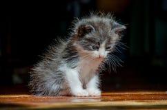 Piccolo gattino che sbadiglia Fotografia Stock Libera da Diritti