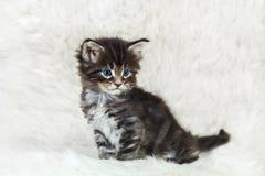 Piccolo gattino del procione lavatore della Maine su pelliccia bianca Immagine Stock